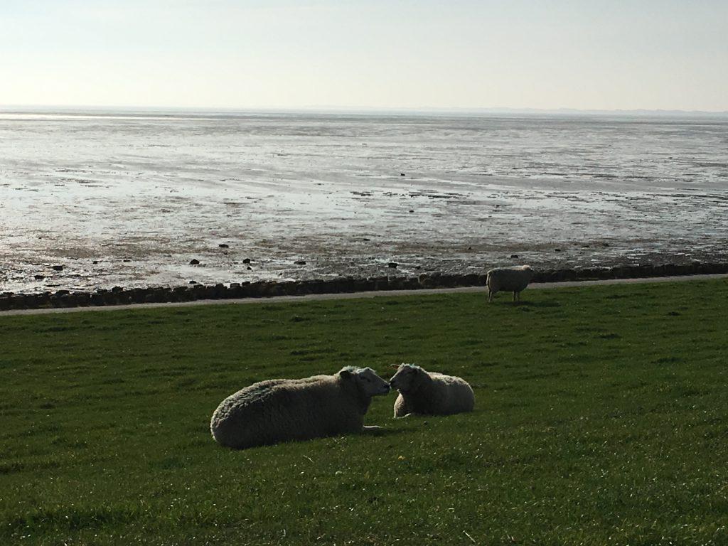 Schafe am Rantumbecken
